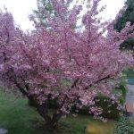 Zierkirsche im Garten